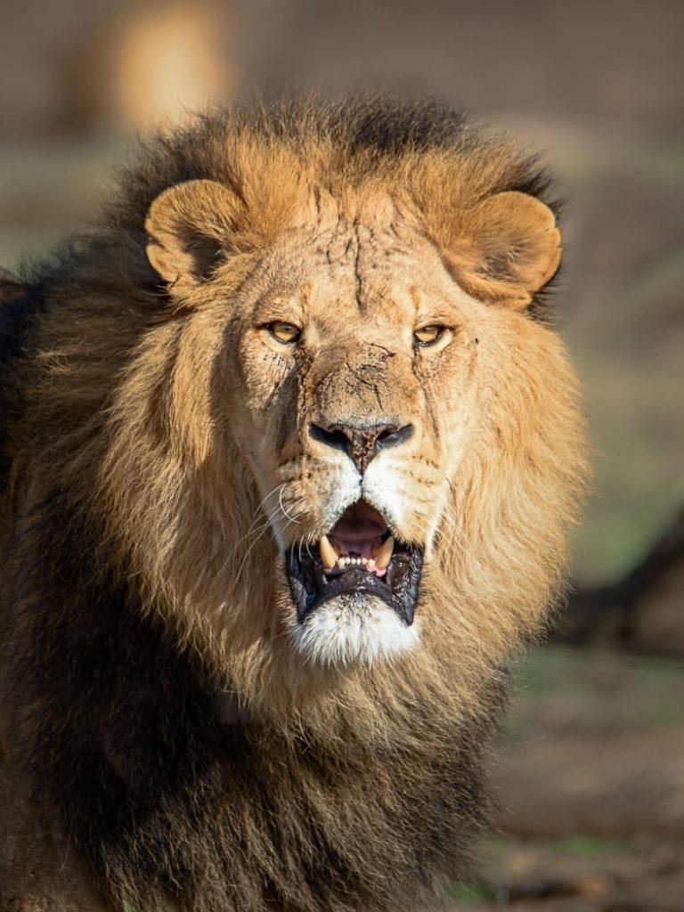 אריה בספארי.